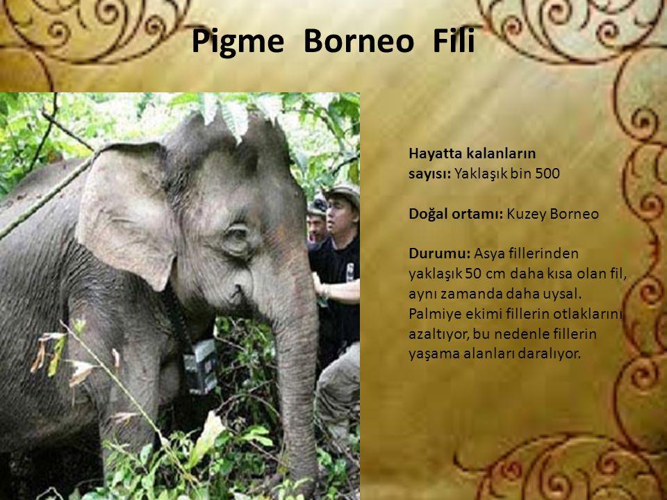Pigme Borneo Fili Hayatta kalanların sayısı: Yaklaşık bin 500 Doğal ortamı: Kuzey Borneo Durumu: Asya fillerinden yaklaşık 50 cm daha kısa olan fil, a