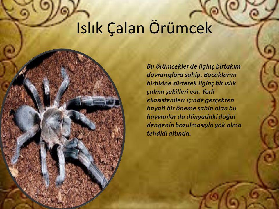 Islık Çalan Örümcek Bu örümcekler de ilginç birtakım davranışlara sahip. Bacaklarını birbirine sürterek ilginç bir ıslık çalma şekilleri var. Yerli ek
