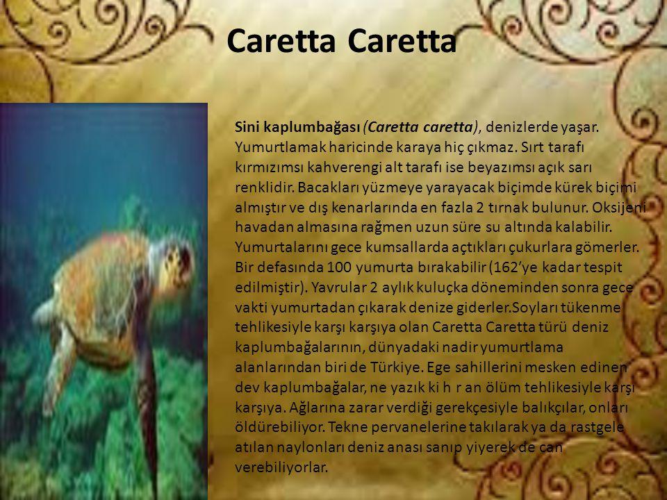 Caretta Caretta Sini kaplumbağası (Caretta caretta), denizlerde yaşar. Yumurtlamak haricinde karaya hiç çıkmaz. Sırt tarafı kırmızımsı kahverengi alt