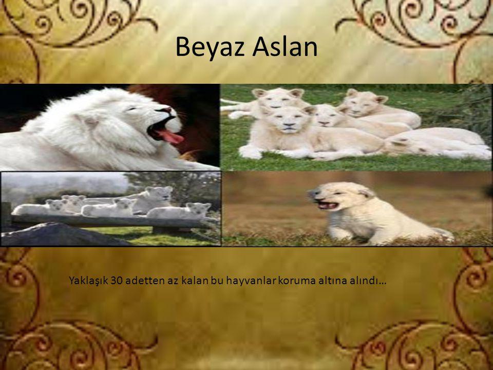 Beyaz Aslan Yaklaşık 30 adetten az kalan bu hayvanlar koruma altına alındı…