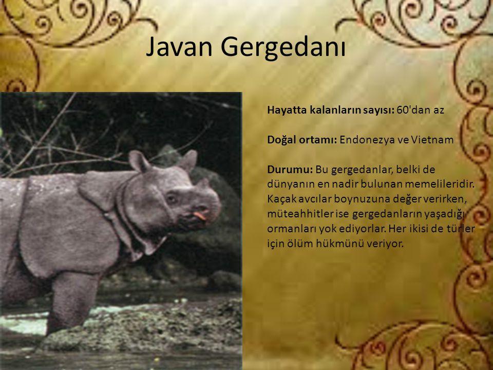 Javan Gergedanı Hayatta kalanların sayısı: 60'dan az Doğal ortamı: Endonezya ve Vietnam Durumu: Bu gergedanlar, belki de dünyanın en nadir bulunan mem
