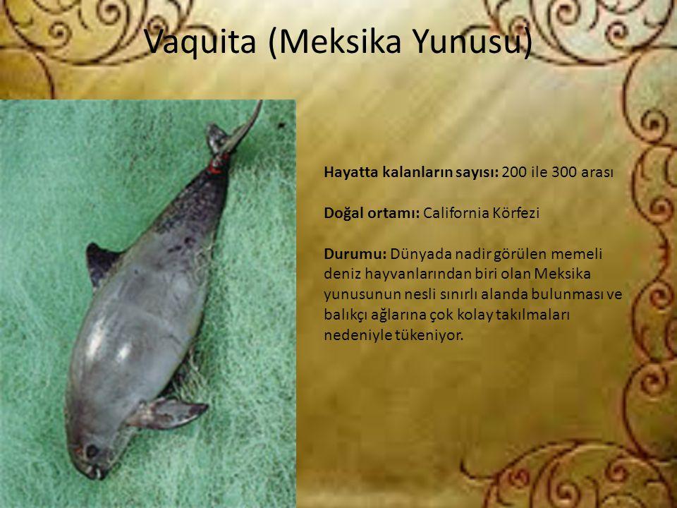 Vaquita (Meksika Yunusu) Hayatta kalanların sayısı: 200 ile 300 arası Doğal ortamı: California Körfezi Durumu: Dünyada nadir görülen memeli deniz hayv