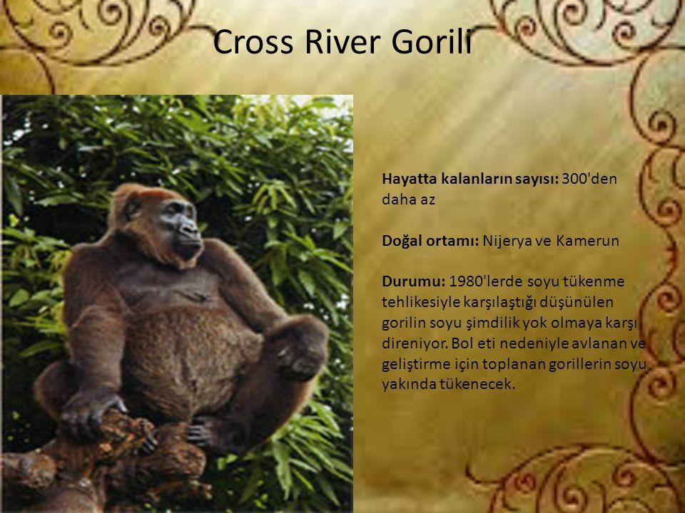 Cross River Gorili Hayatta kalanların sayısı: 300'den daha az Doğal ortamı: Nijerya ve Kamerun Durumu: 1980'lerde soyu tükenme tehlikesiyle karşılaştı