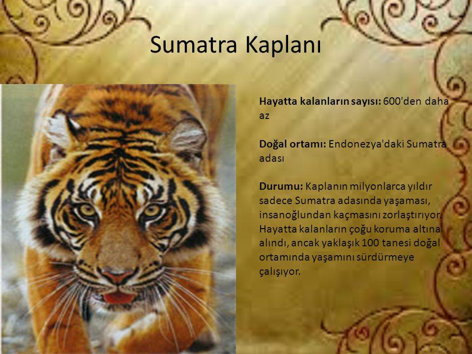 Sumatra Kaplanı Hayatta kalanların sayısı: 600'den daha az Doğal ortamı: Endonezya'daki Sumatra adası Durumu: Kaplanın milyonlarca yıldır sadece Sumat