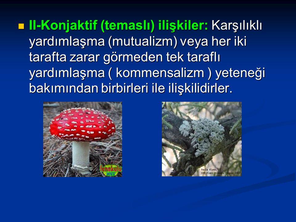 II-Konjaktif (temaslı) ilişkiler: Karşılıklı yardımlaşma (mutualizm) veya her iki tarafta zarar görmeden tek taraflı yardımlaşma ( kommensalizm ) yete
