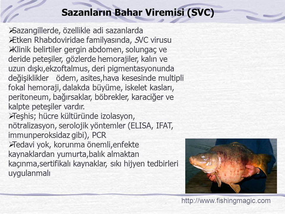 Sazanların Bahar Viremisi (SVC) http://www.fishingmagic.com  Sazangillerde, özellikle adi sazanlarda  Etken Rhabdoviridae familyasında, SVC virusu 