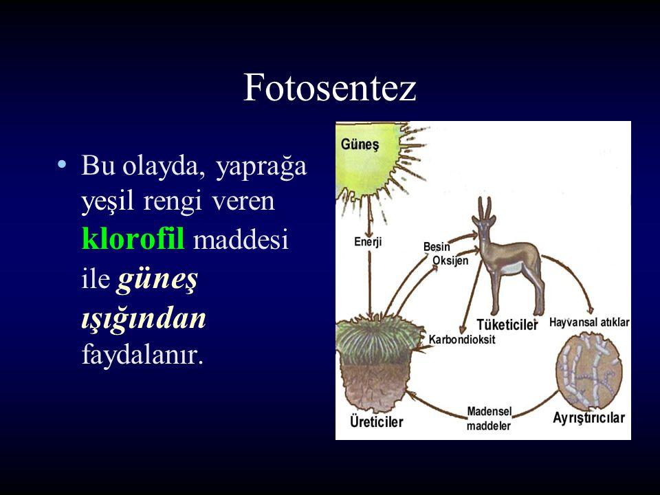 Fotosentez Bu olayda, yaprağa yeşil rengi veren klorofil maddesi ile güneş ışığından faydalanır.