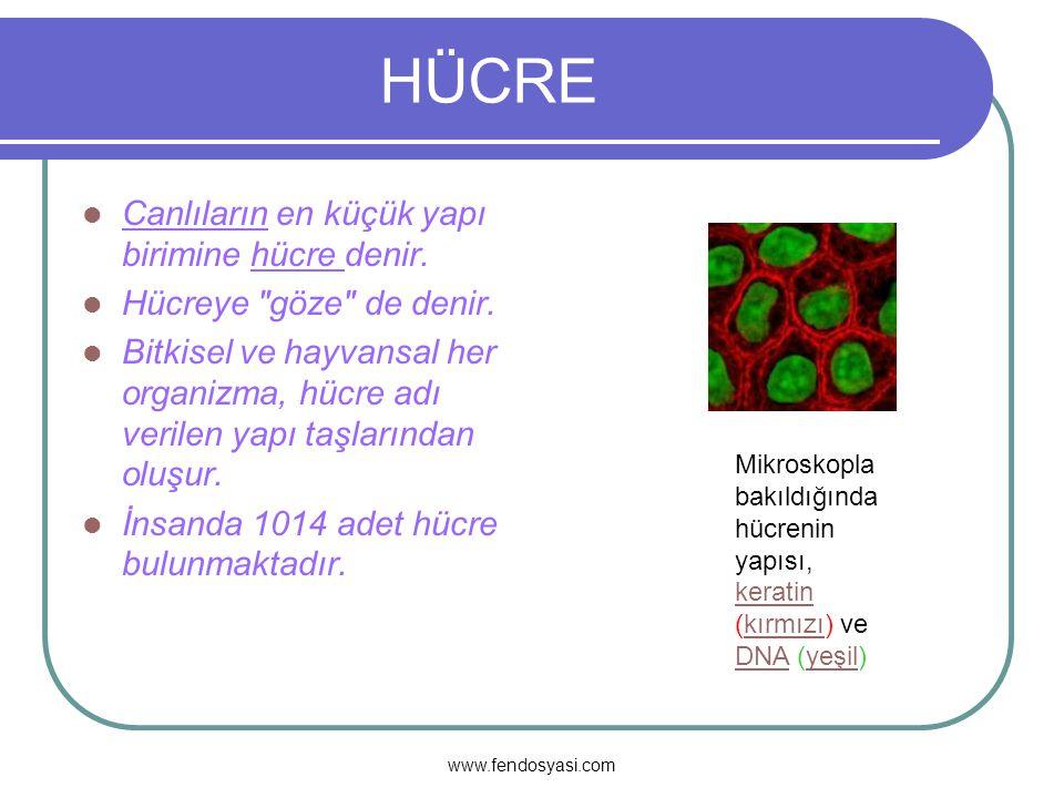www.fendosyasi.com ORGANELLER Golgi cisimciği: Granülsüz endoplazmik retikuluma benzer, yani üzerinde ribozom bulunmaz.