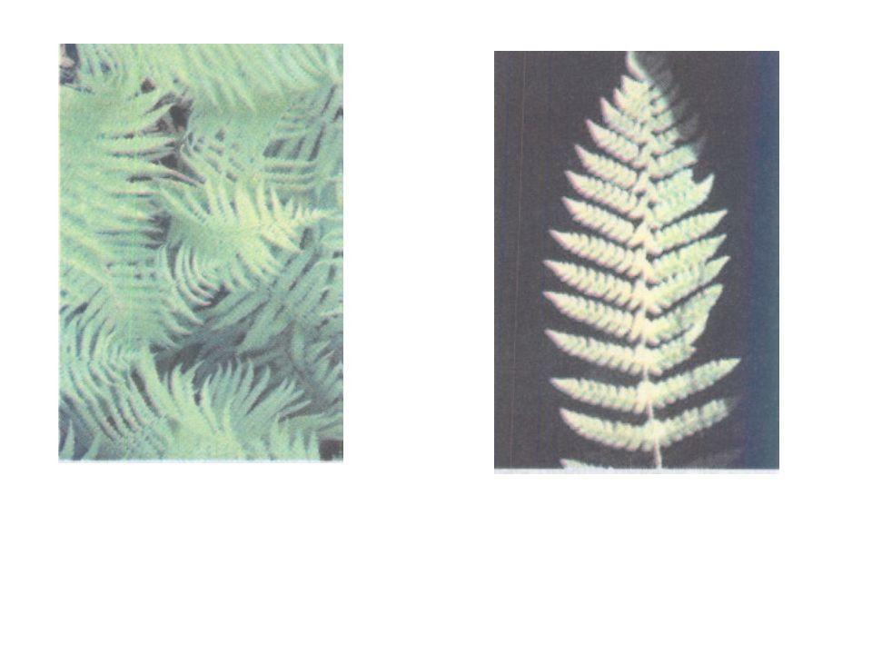 Tanım: Bir şeklin orantılı olarak küçültülmüş ya da büyütülmüş parçaları ile oluşturulmuş örüntülere FRAKTAL denir.