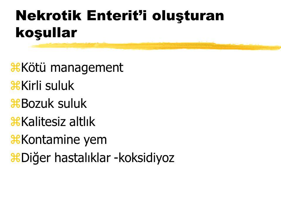 Nekrotik Enterit'i oluşturan koşullar zKötü management zKirli suluk zBozuk suluk zKalitesiz altlık zKontamine yem zDiğer hastalıklar -koksidiyoz