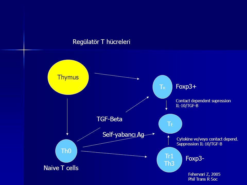 Regülatör T hücreleri Thymus Th0 TRTR Foxp3+ TGF-Beta Tr1 Th3 TETE Contact dependent supression IL-10/TGF-B Foxp3- Cytokine ve/veya contact depend.