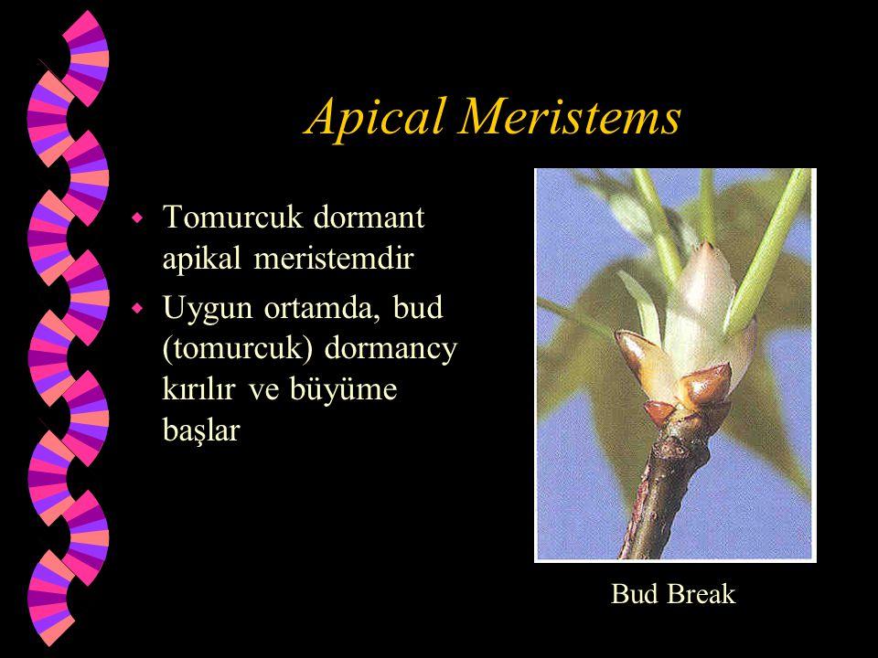 Apical Meristems w Tomurcuk dormant apikal meristemdir w Uygun ortamda, bud (tomurcuk) dormancy kırılır ve büyüme başlar Bud Break