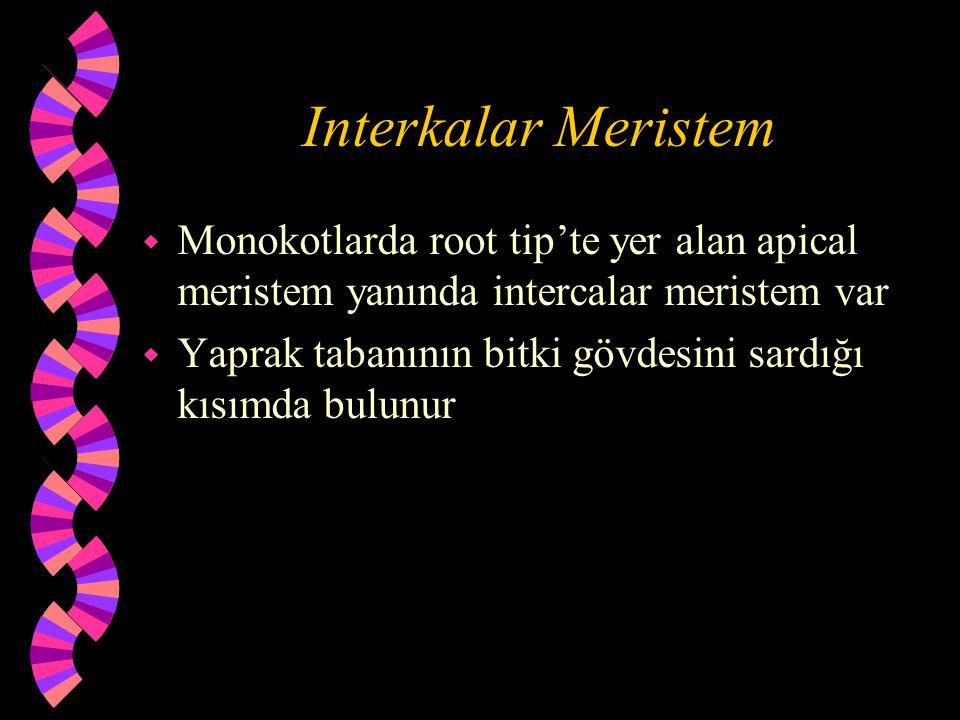 Interkalar Meristem w Monokotlarda root tip'te yer alan apical meristem yanında intercalar meristem var w Yaprak tabanının bitki gövdesini sardığı kısımda bulunur