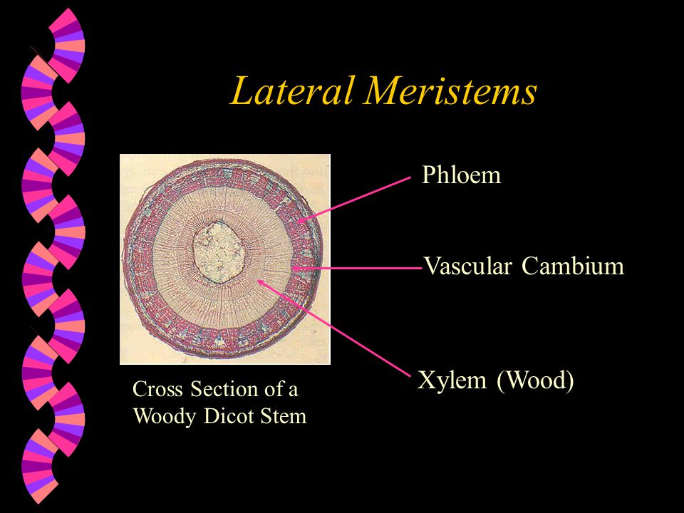 Lateral Meristems Phloem Vascular Cambium Xylem (Wood) Cross Section of a Woody Dicot Stem