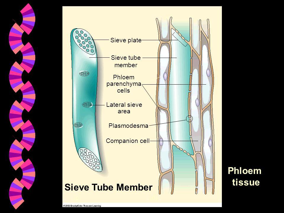 Companion cell (c)(d) Plasmodesma Lateral sieve area Phloem parenchyma cells Sieve tube member Sieve plate Sieve Tube Member Phloem tissue