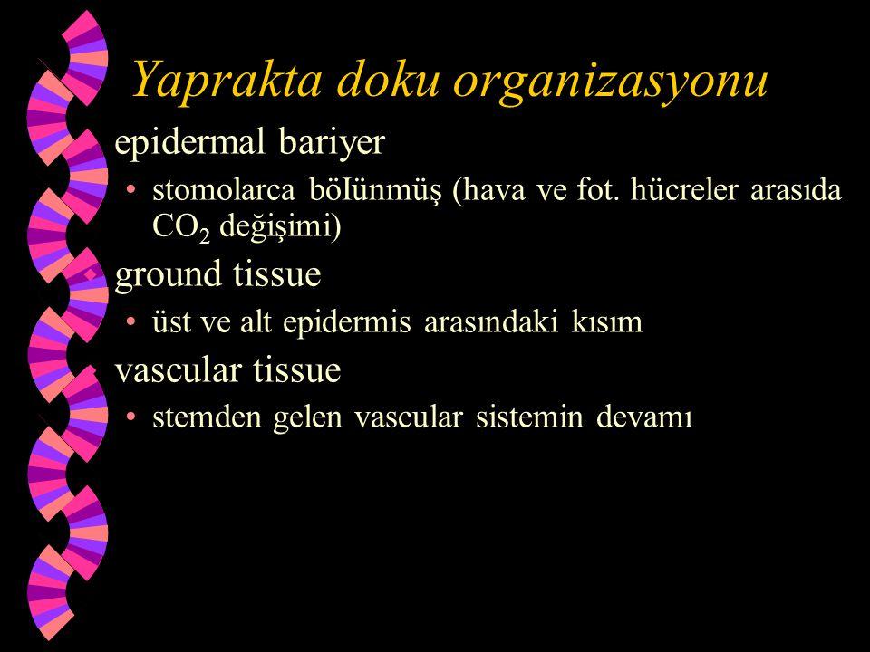 Yaprakta doku organizasyonu w epidermal bariyer stomolarca böIünmüş (hava ve fot. hücreler arasıda CO 2 değişimi) w ground tissue üst ve alt epidermis
