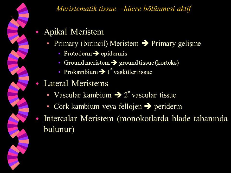 Meristematik tissue – hücre bölünmesi aktif w Apikal Meristem Primary (birincil) Meristem  Primary gelişme Protoderm  epidermis Ground meristem  ground tissue (korteks) Prokambium  1 o vasküler tissue w Lateral Meristems Vascular kambium  2 o vascular tissue Cork kambium veya fellojen  periderm w Intercalar Meristem (monokotlarda blade tabanında bulunur)