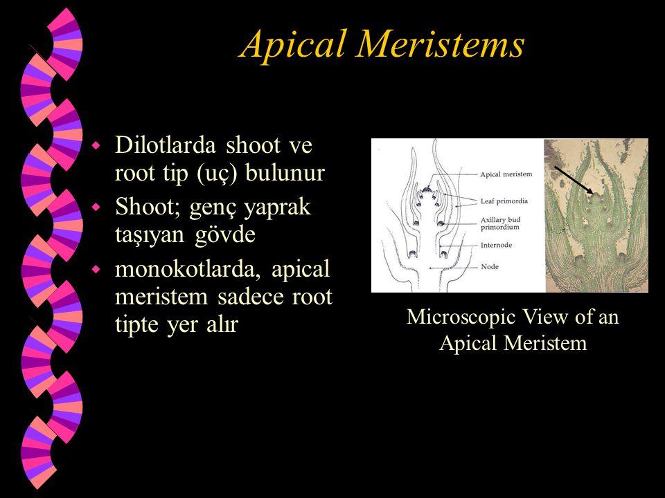 Apical Meristems w Dilotlarda shoot ve root tip (uç) bulunur w Shoot; genç yaprak taşıyan gövde w monokotlarda, apical meristem sadece root tipte yer alır Microscopic View of an Apical Meristem
