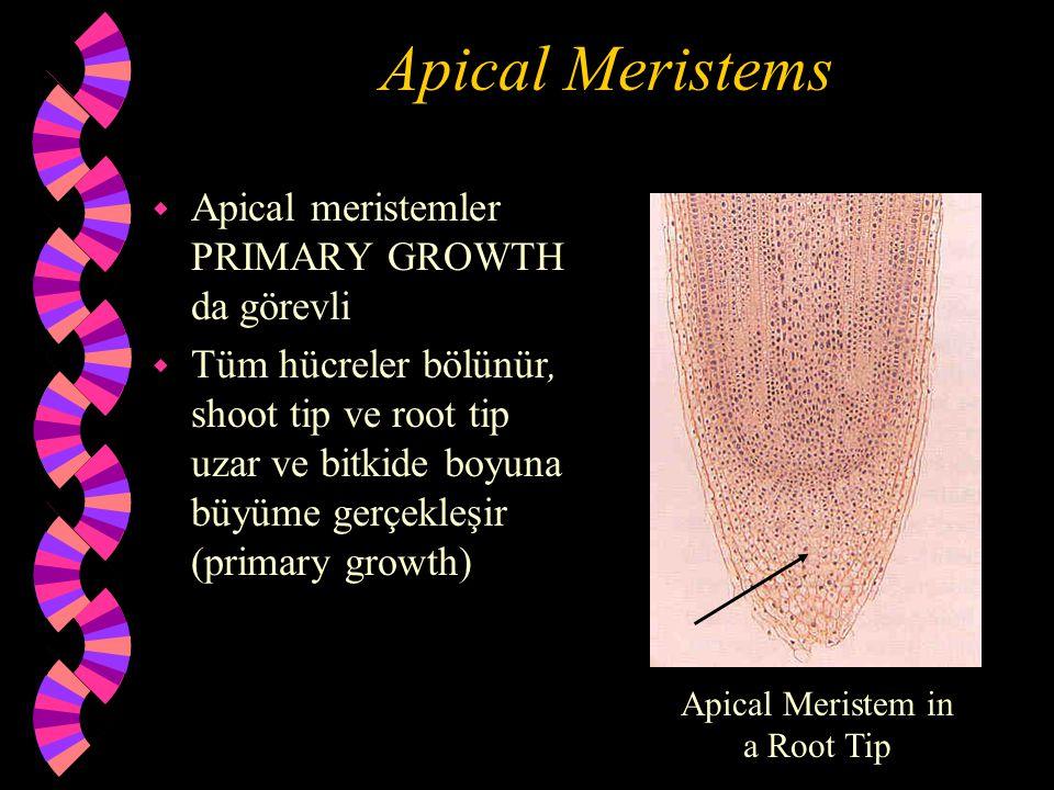 Apical Meristems Hücrelerde bölünme gerçekleşirken uzamada olur