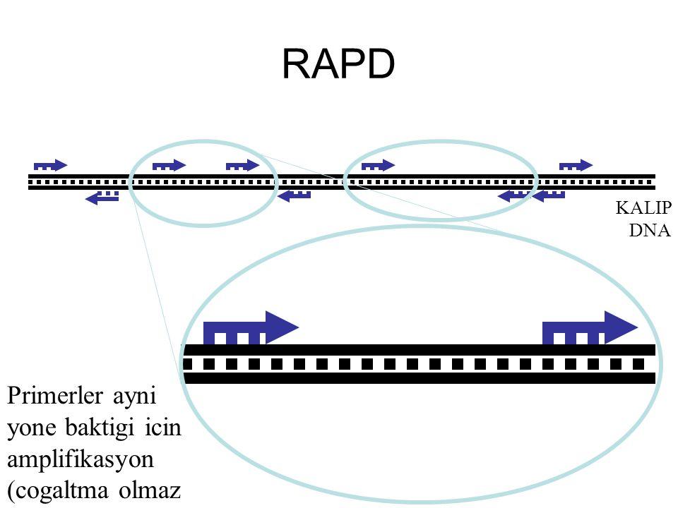 RAPD KALIP DNA Primerler ayni yone baktigi icin amplifikasyon (cogaltma olmaz