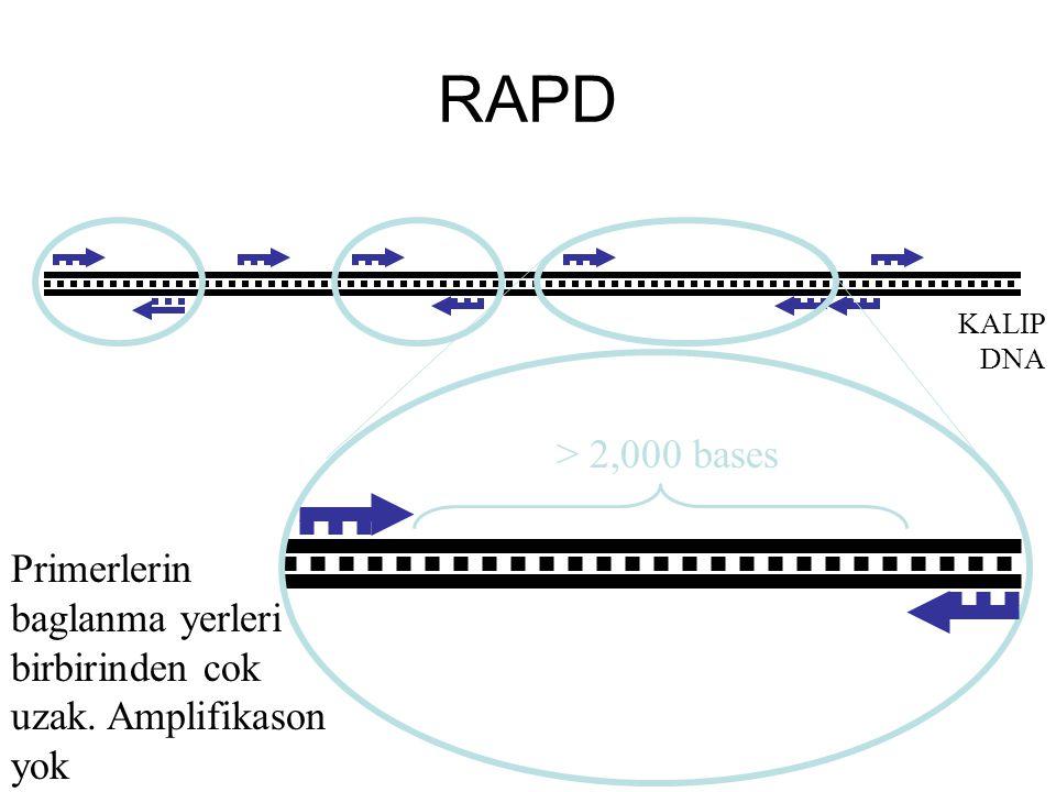 RAPD KALIP DNA Primerlerin baglanma yerleri birbirinden cok uzak. Amplifikason yok > 2,000 bases