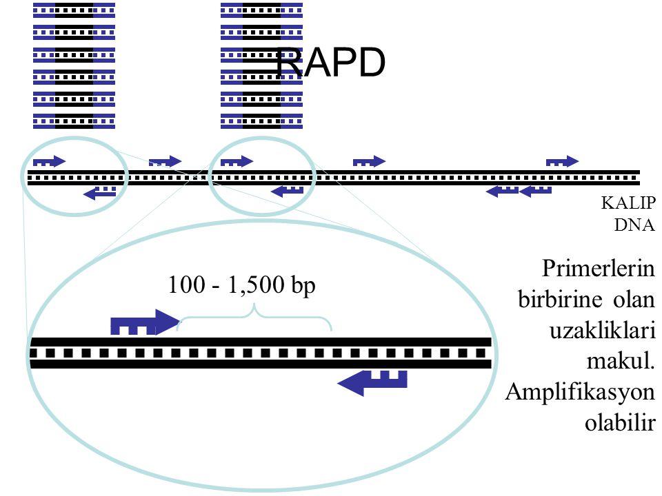 KALIP DNA Primerlerin birbirine olan uzakliklari makul. Amplifikasyon olabilir 100 - 1,500 bp RAPD