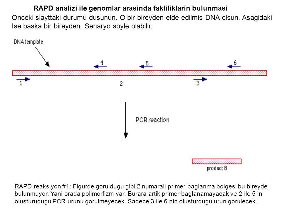 RAPD analizi ile genomlar arasinda fakliliklarin bulunmasi Onceki slayttaki durumu dusunun. O bir bireyden elde edilmis DNA olsun. Asagidaki Ise baska