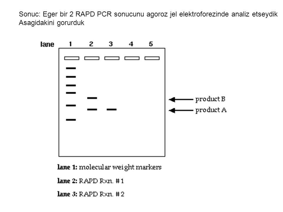 Sonuc: Eger bir 2 RAPD PCR sonucunu agoroz jel elektroforezinde analiz etseydik Asagidakini gorurduk