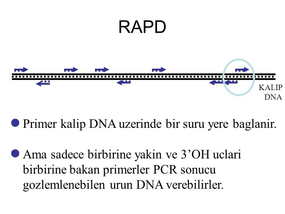 RAPD KALIP DNA Primer kalip DNA uzerinde bir suru yere baglanir. Ama sadece birbirine yakin ve 3'OH uclari birbirine bakan primerler PCR sonucu gozlem