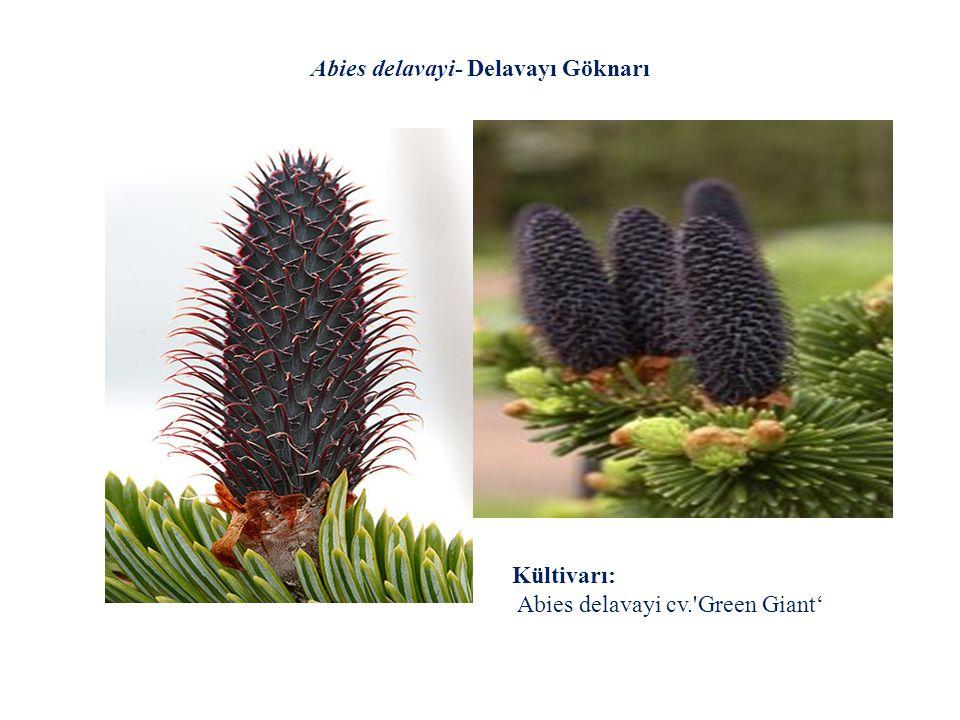 Abies delavayi- Delavayı Göknarı Kültivarı: Abies delavayi cv.'Green Giant'