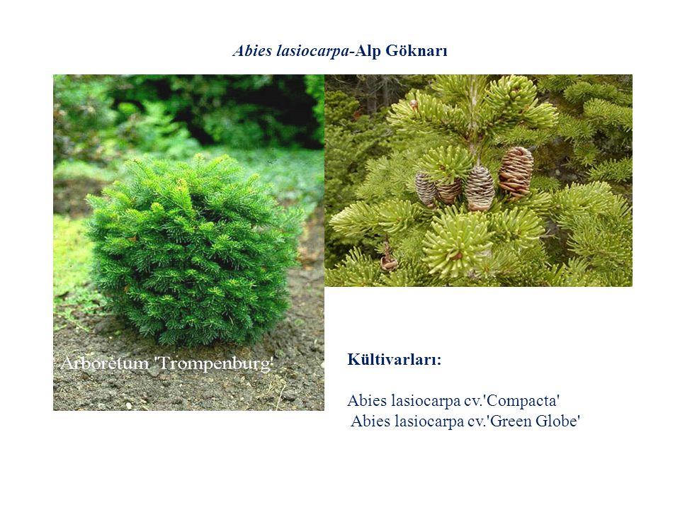 Abies lasiocarpa-Alp Göknarı Kültivarları: Abies lasiocarpa cv.'Compacta' Abies lasiocarpa cv.'Green Globe'