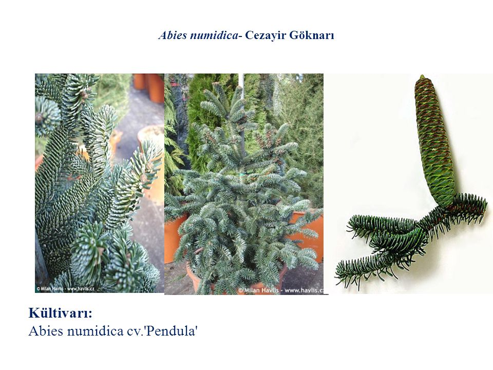 Abies numidica- Cezayir Göknarı Kültivarı: Abies numidica cv.'Pendula'
