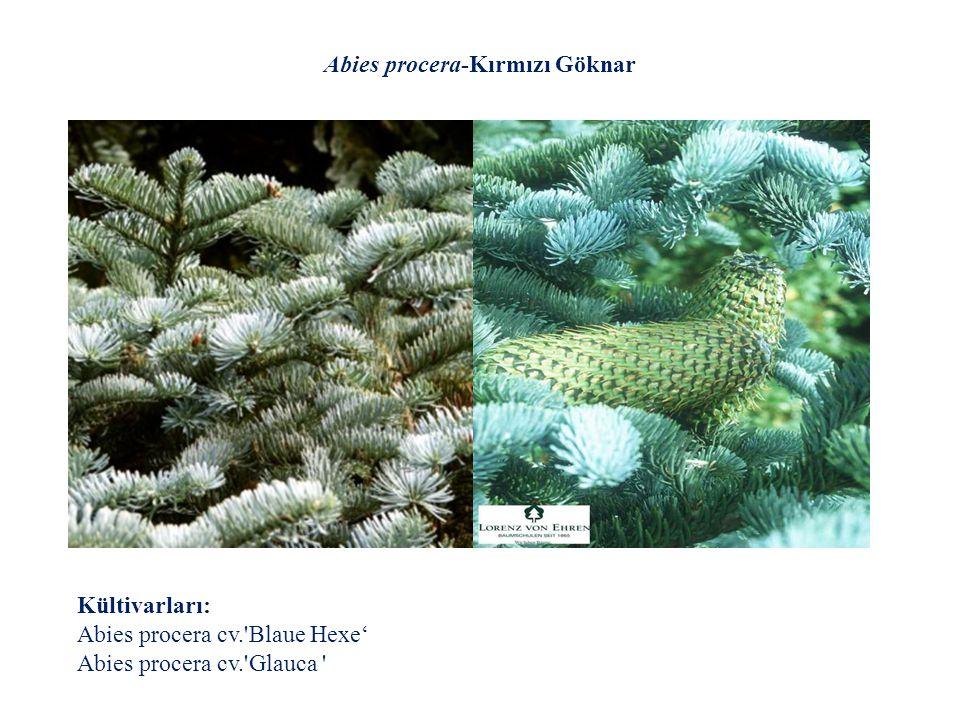 Abies procera-Kırmızı Göknar Kültivarları: Abies procera cv.'Blaue Hexe' Abies procera cv.'Glauca '