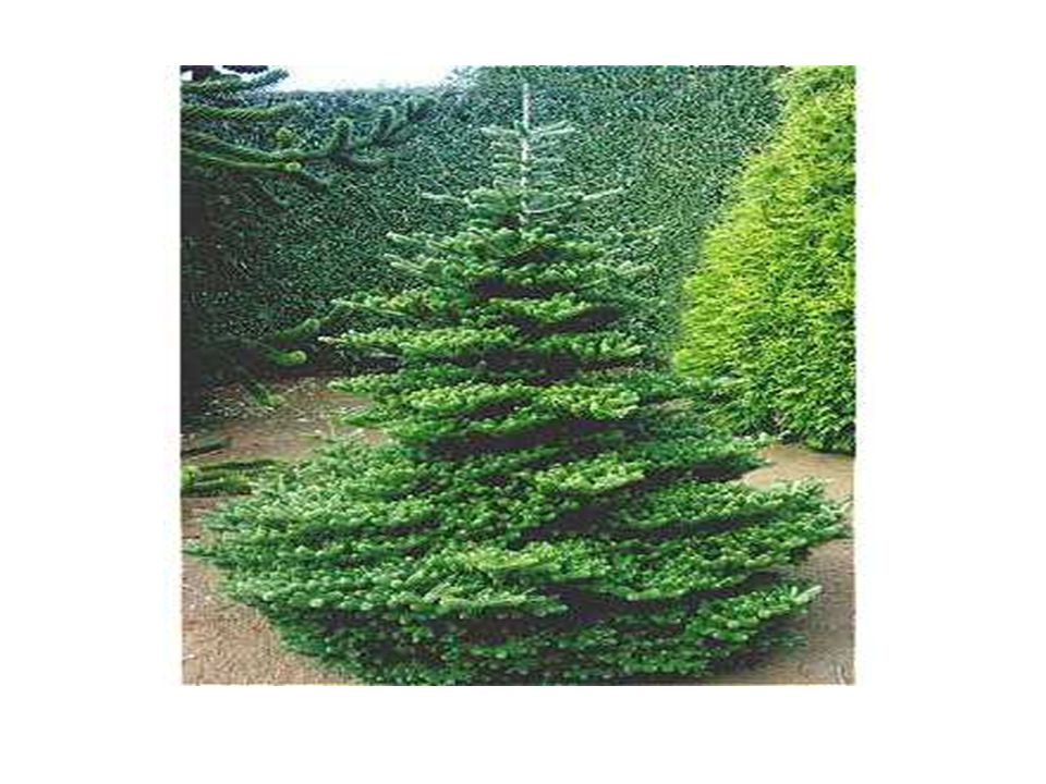 Abies delavayi- Delavayı Göknarı Kültivarı: Abies delavayi cv. Green Giant'