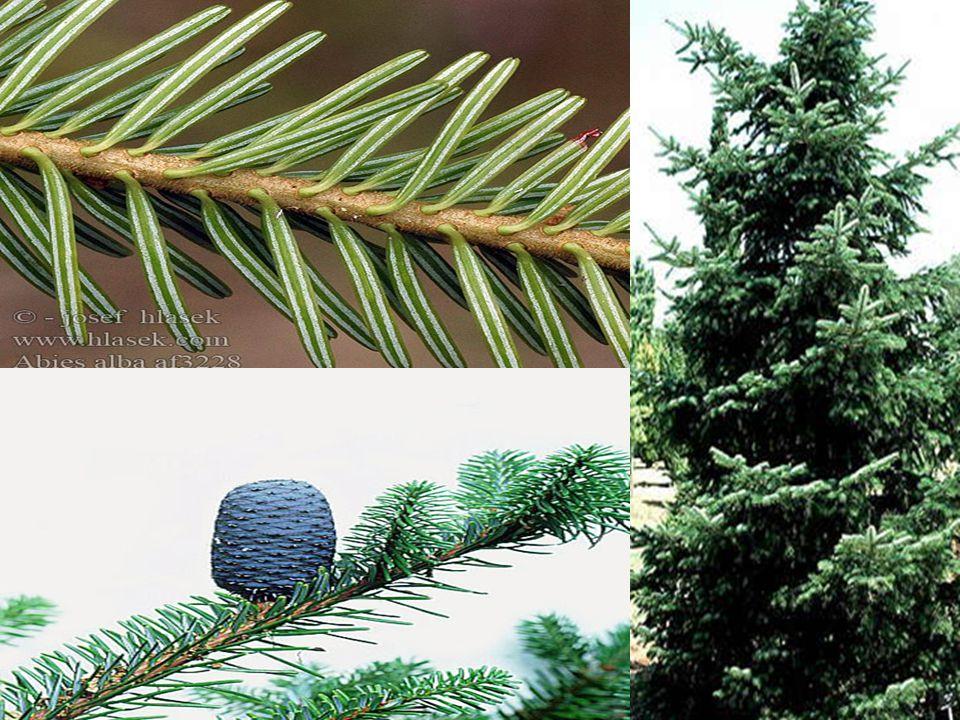 Abies amabilis-Pasifik Göknarı Kültivarı: Abies amabilis cv. Spreading Star'