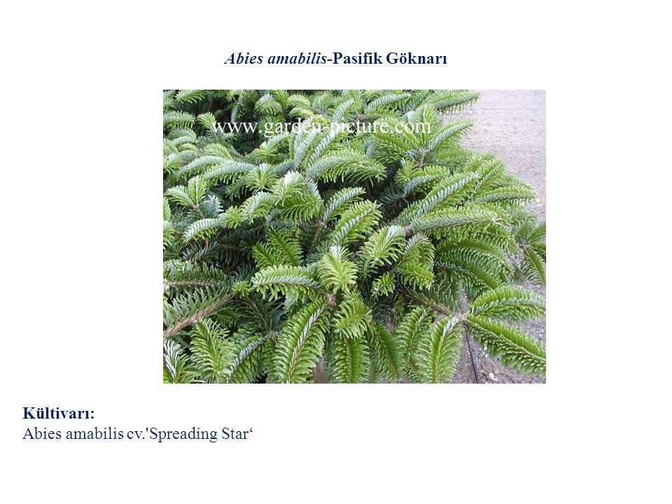 Abies amabilis-Pasifik Göknarı Kültivarı: Abies amabilis cv.'Spreading Star'