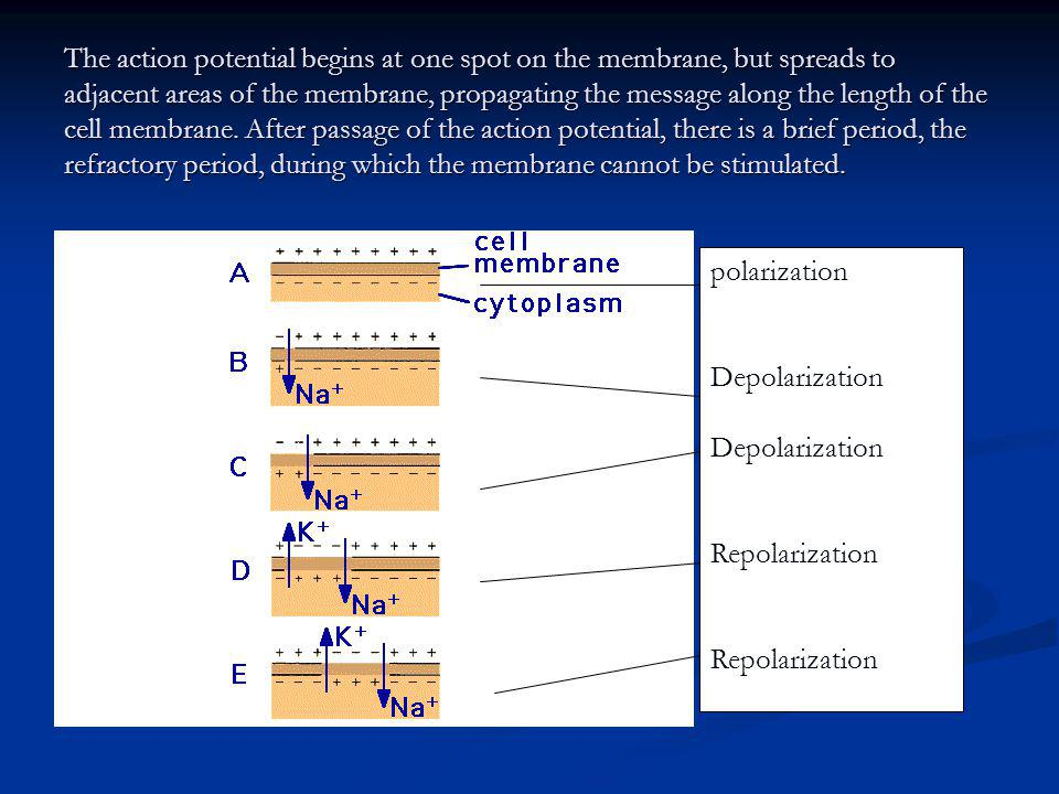 The action potential begins at one spot on the membrane, but spreads to adjacent areas of the membrane, propagating the message along the length of th