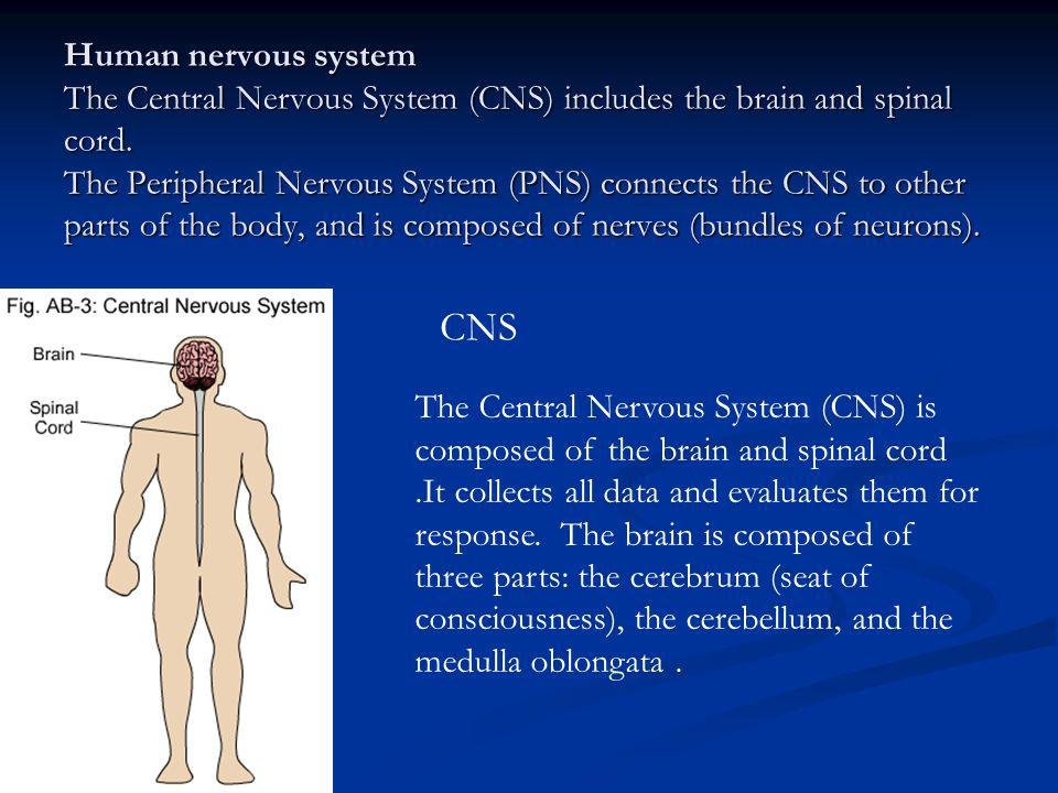 Human nervous system The Central Nervous System (CNS) includes the brain and spinal cord. The Peripheral Nervous System (PNS) connects the CNS to othe