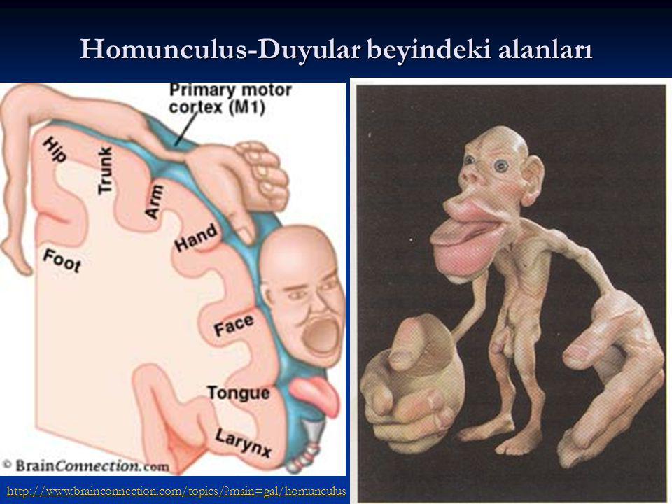 Homunculus-Duyular beyindeki alanları http://www.brainconnection.com/topics/?main=gal/homunculus