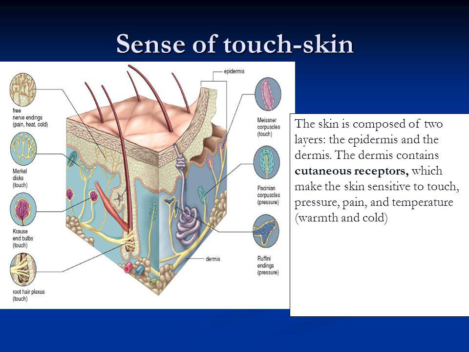 Sense of touch-skin The skin is composed of two layers: the epidermis and the dermis. The dermis contains cutaneous receptors, which make the skin sen