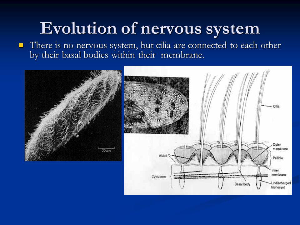 Nervous system in Invertebrates Coelenterates, cnidarians, and echinoderms have their neurons organized into a nerve net.