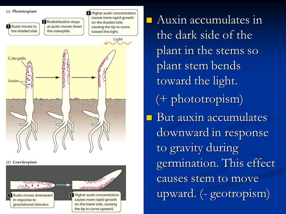 Auxin accumulates in the dark side of the plant in the stems so plant stem bends toward the light. Auxin accumulates in the dark side of the plant in