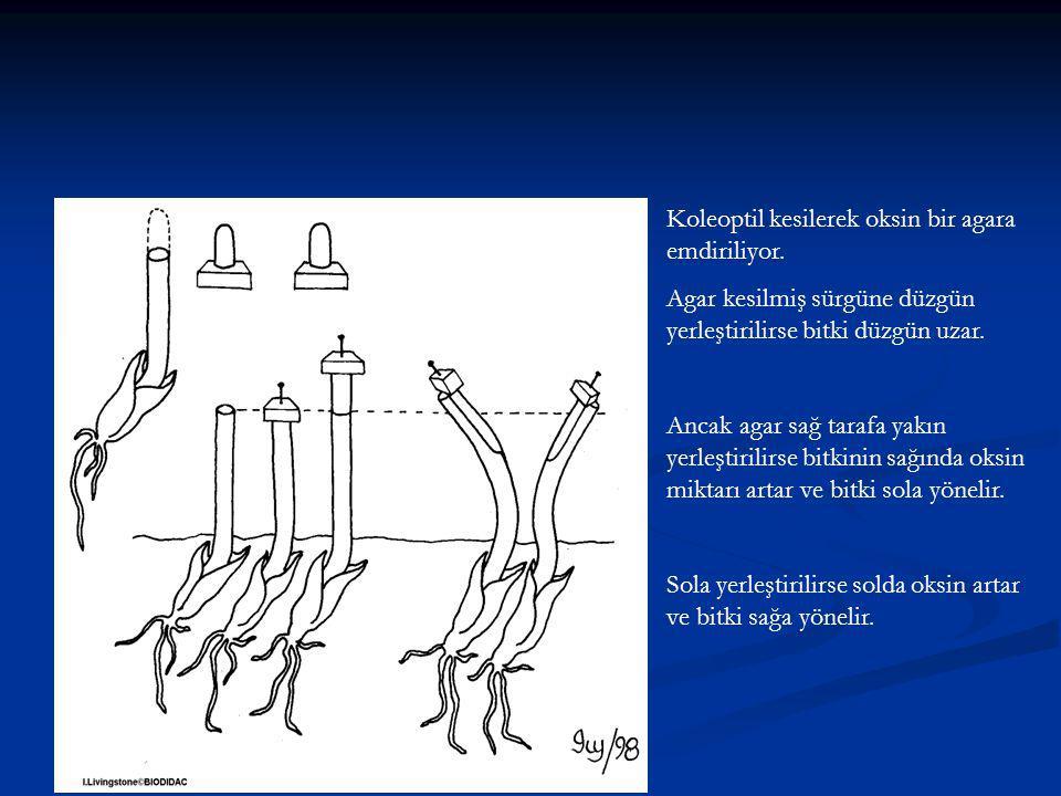 Koleoptil kesilerek oksin bir agara emdiriliyor.