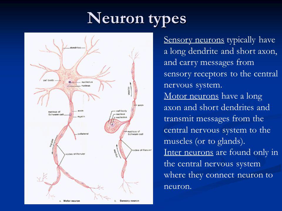 İşitme duyu hücrelerinin bulunduğu yer aşağıdakilerden hangisidir.