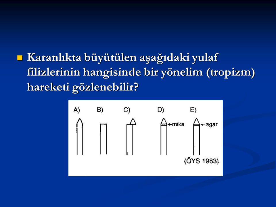 Karanlıkta büyütülen aşağıdaki yulaf filizlerinin hangisinde bir yönelim (tropizm) hareketi gözlenebilir.