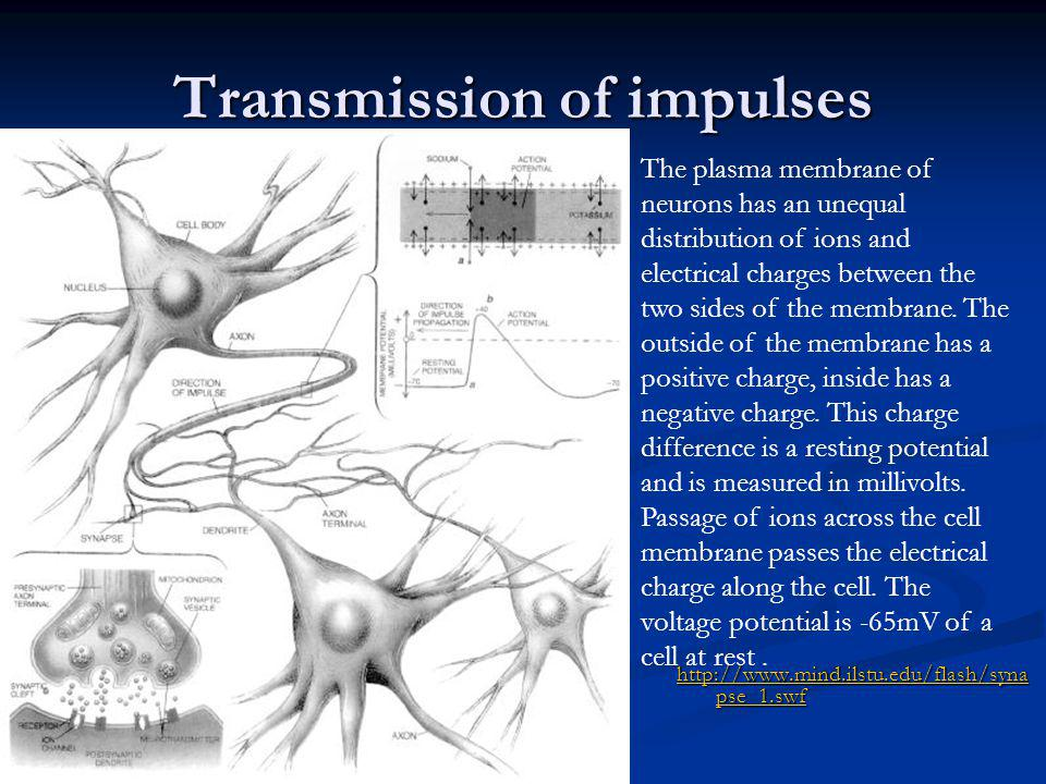 Transmission of impulses http://www.mind.ilstu.edu/flash/syna pse_1.swf http://www.mind.ilstu.edu/flash/syna pse_1.swf The plasma membrane of neurons