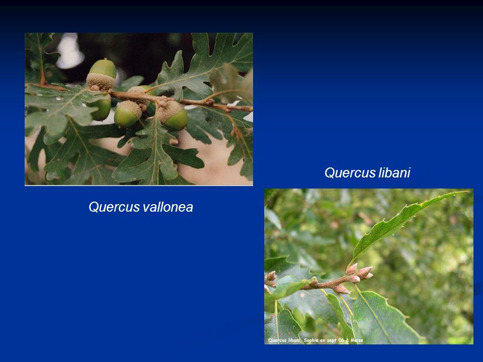 Quercus vallonea Quercus libani