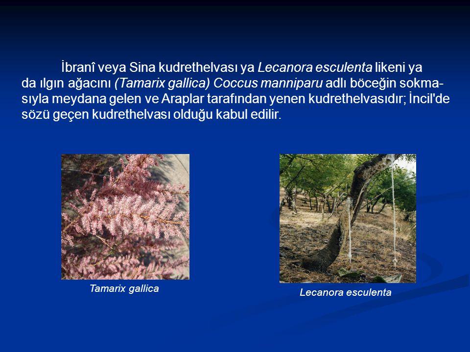 İbranî veya Sina kudrethelvası ya Lecanora esculenta likeni ya da ılgın ağacını (Tamarix gallica) Coccus manniparu adlı böceğin sokma- sıyla meydana gelen ve Araplar tarafından yenen kudrethelvasıdır; İncil de sözü geçen kudrethelvası olduğu kabul edilir.