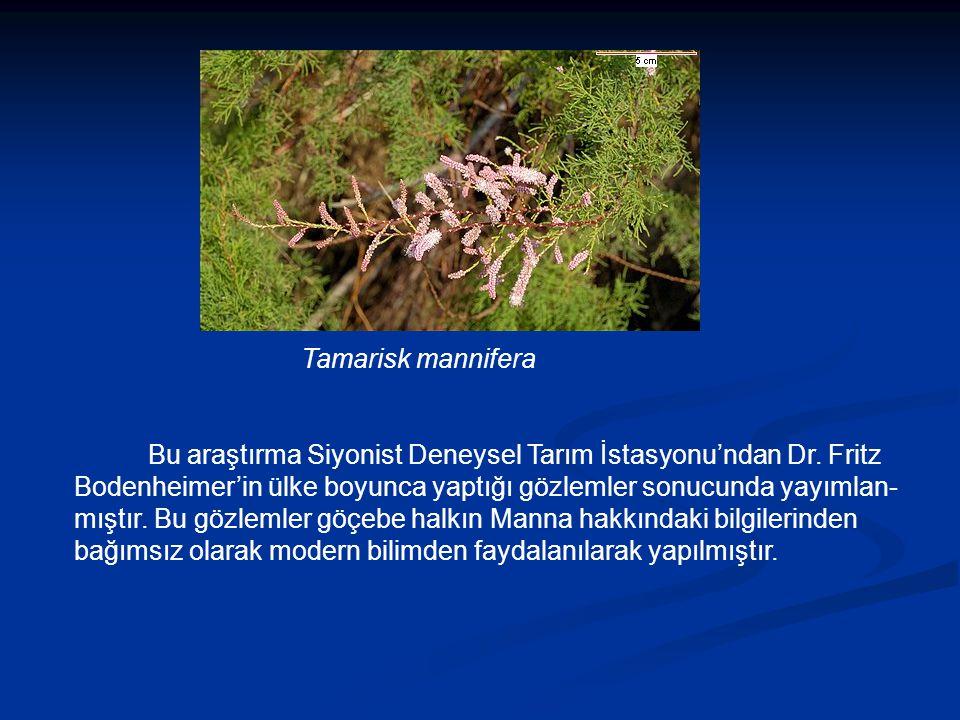 Tamarisk mannifera Bu araştırma Siyonist Deneysel Tarım İstasyonu'ndan Dr.