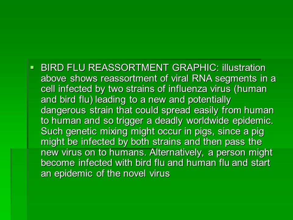  BIRD FLU REASSORTMENT GRAPHIC: illustration above shows reassortment of viral RNA segments in a cell infected by two strains of influenza virus (human and bird flu) leading to a new and potentially dangerous strain that could spread easily from human to human and so trigger a deadly worldwide epidemic.